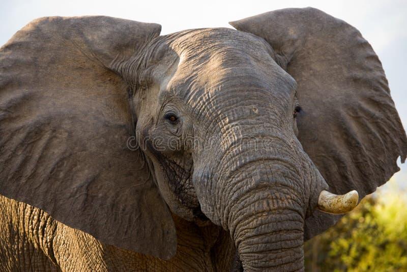 Portret van het olifantsclose-up zambia Lager Zambezi Nationaal Park royalty-vrije stock fotografie