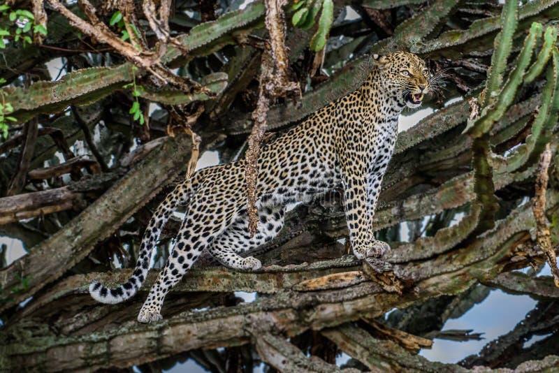 Portret van het wilde kattendier, Luipaard die op het gras bepalen die aan de camera kijken royalty-vrije stock foto's