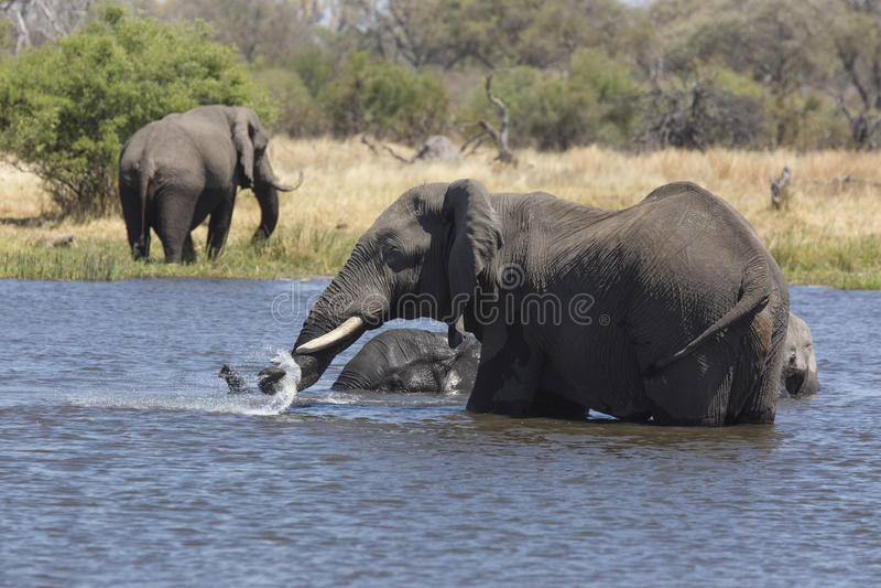 Portret van het wilde vrije olifant overgieten stock afbeeldingen