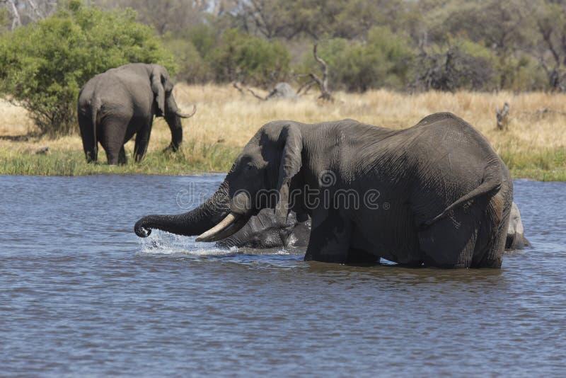 Portret van het wilde vrije olifant overgieten stock foto