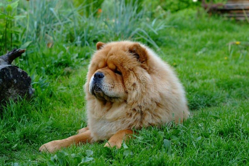 Portret van hondchow-chow stock afbeeldingen