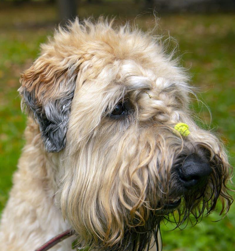 Portret van Irish tarwe soft-coated Terrier Shaggy krully dog met een varkensstaart op zijn hoofd royalty-vrije stock foto