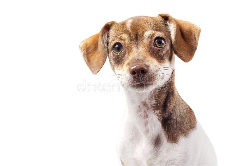 Portret van Jack Russell Terrier Crossbreed royalty-vrije stock afbeelding