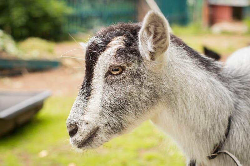 Portret van Jong Gray Female Goat On Walk in Boerenerf stock foto