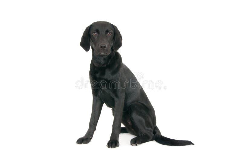 Portret van jong zwart Labrador stock foto