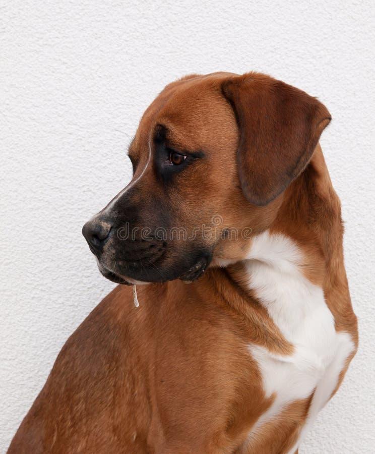 Portret van jonge hond stock afbeelding