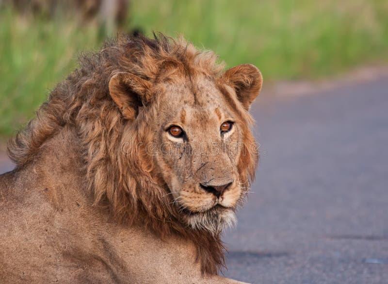 Portret van jonge mannelijke leeuw royalty-vrije stock foto's