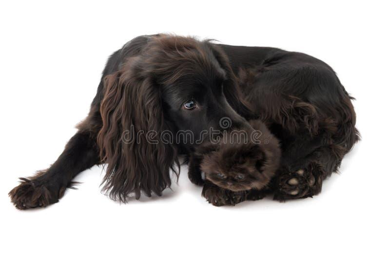 Portret van jonge zwarte cocker-spaniëlhond en een puppy Perzische kat stock foto