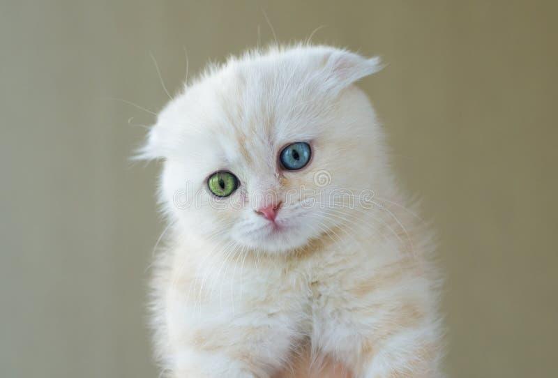 Portret van kat met verschillende ogen - blauw en groen stock foto's