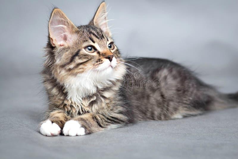 Portret van kleine pluizige het liggen kat royalty-vrije stock foto
