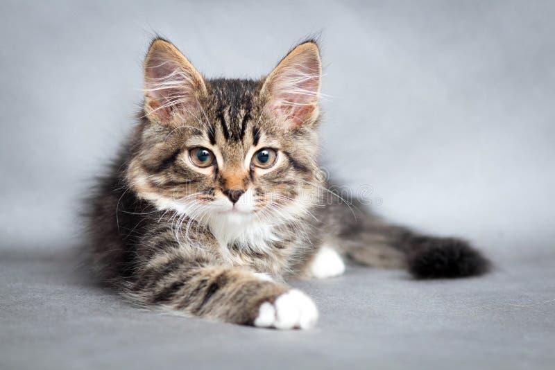 Portret van kleine pluizige het liggen kat royalty-vrije stock foto's
