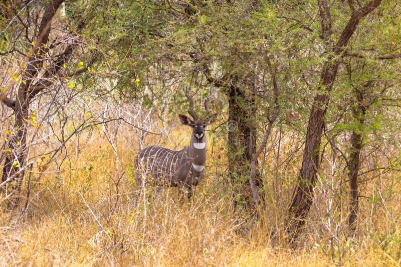 Portret van kleinere kudu in het struikgewas van Meru Kenia, Afrika royalty-vrije stock foto's