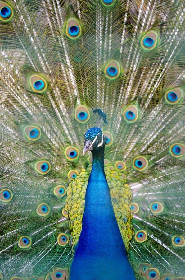 Portret van kleurrijke pauw stock afbeeldingen