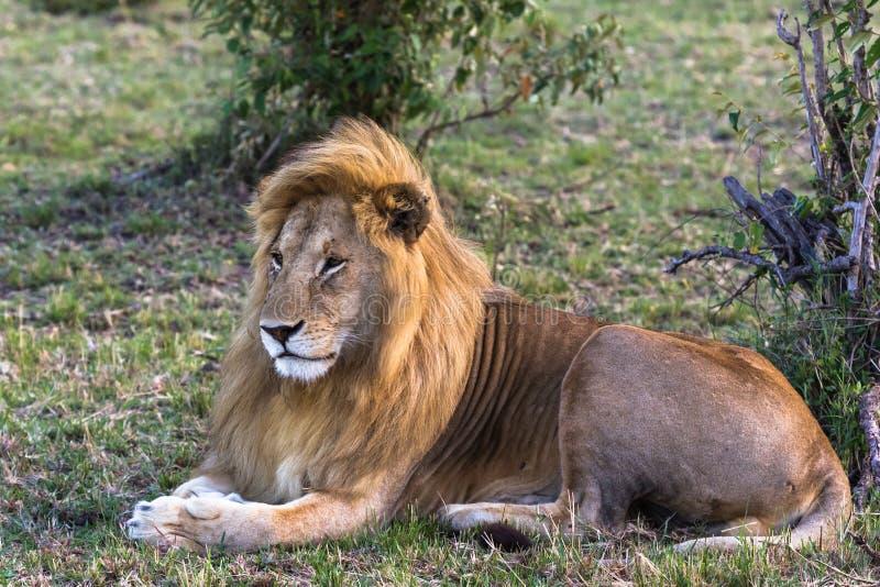 Portret van koning van Masai Mara Rust op het gras Kenia, Afrika royalty-vrije stock foto