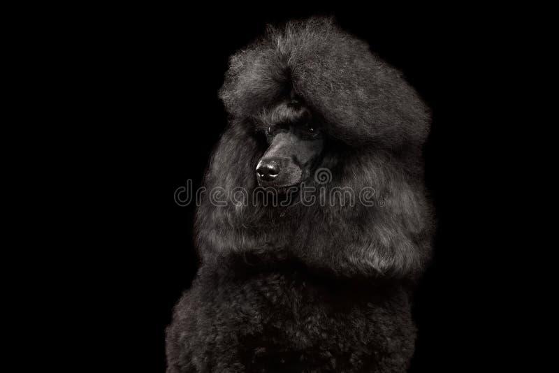 Portret van Koninklijke die Poedelhond op Zwarte Achtergrond wordt geïsoleerd royalty-vrije stock foto