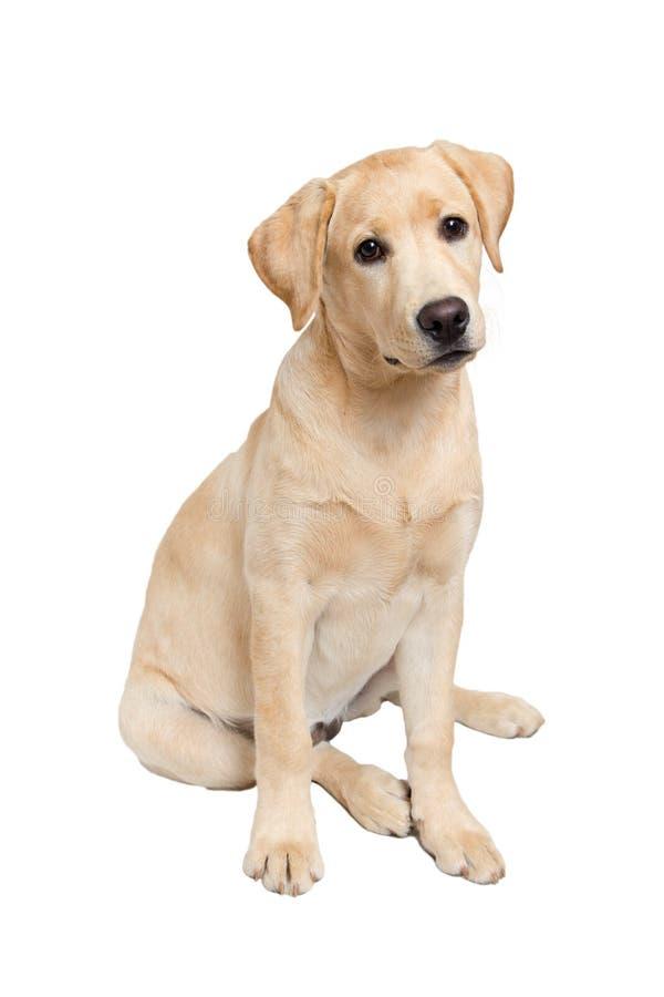 Portret van labrador retriever puppy stock foto's