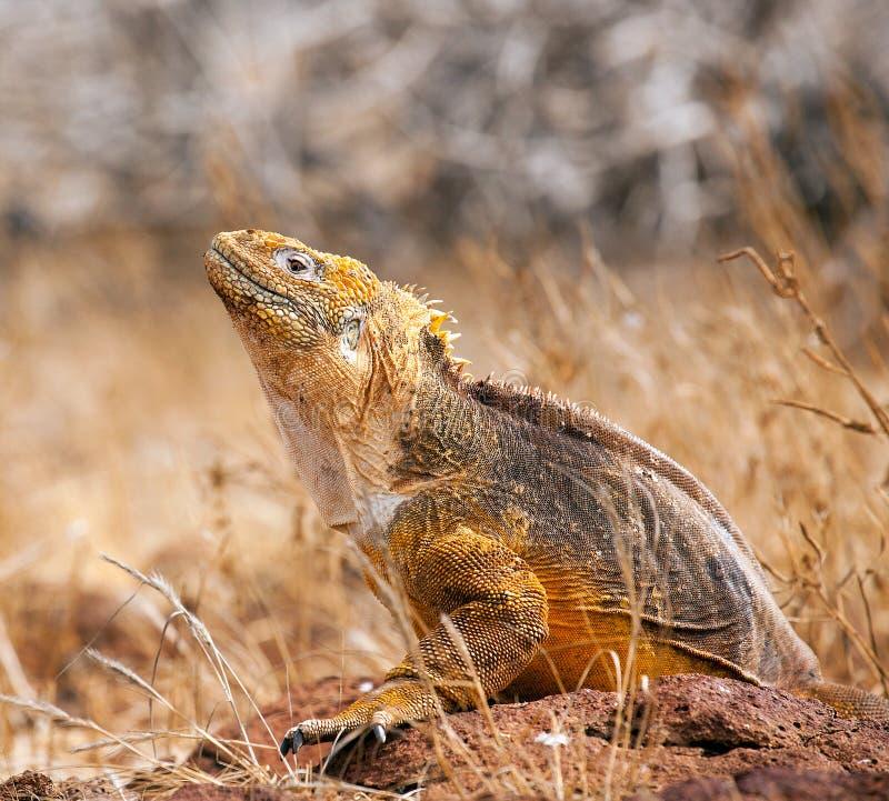 Portret van landleguaan, de Eilanden van de Galapagos, Ecuador stock afbeeldingen