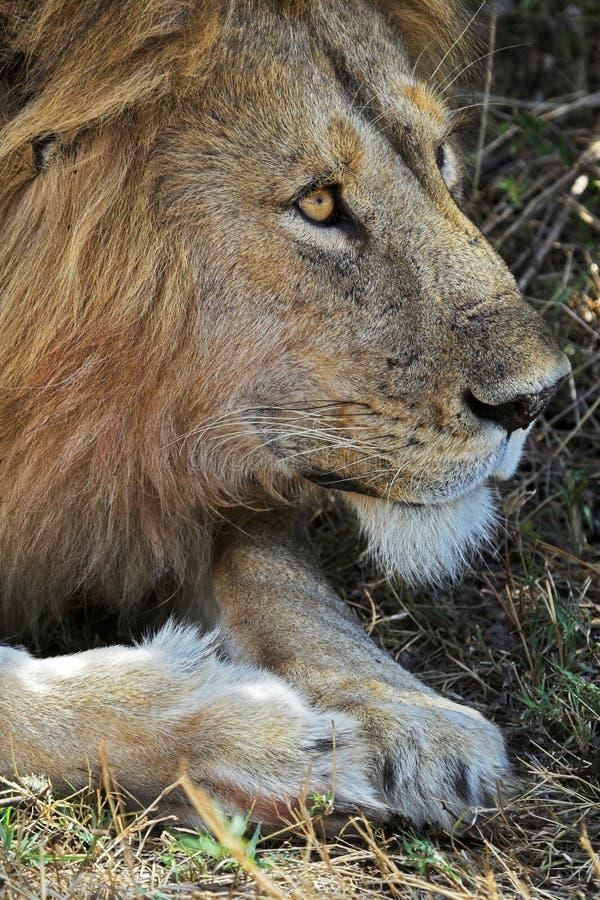 Portret van Leeuw royalty-vrije stock afbeeldingen