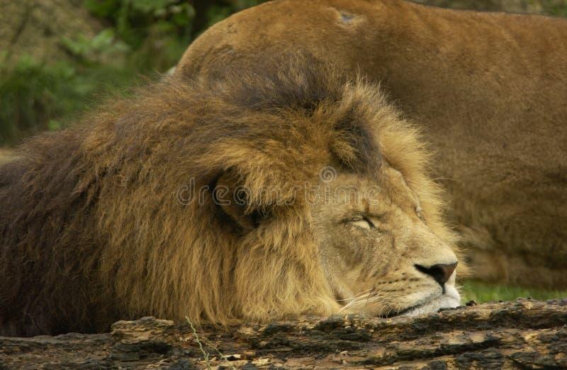 Portret van leeuw royalty-vrije stock foto