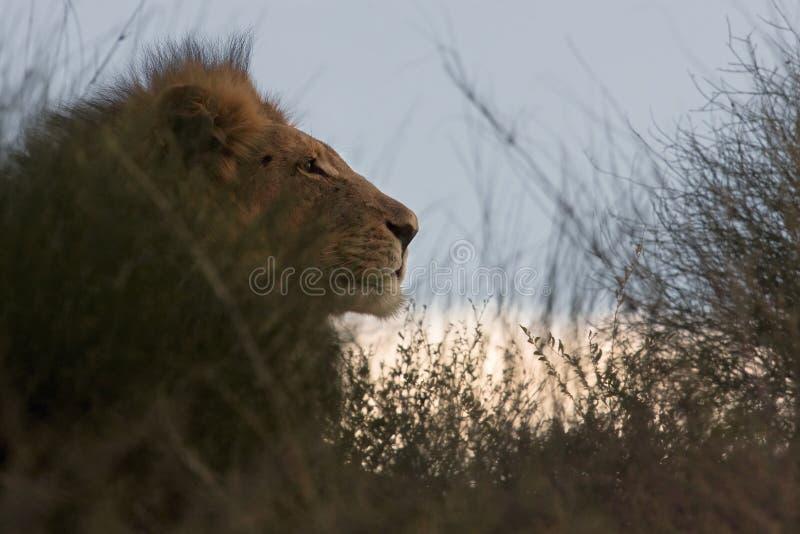 Portret van Leeuw bij zonsondergang stock afbeeldingen