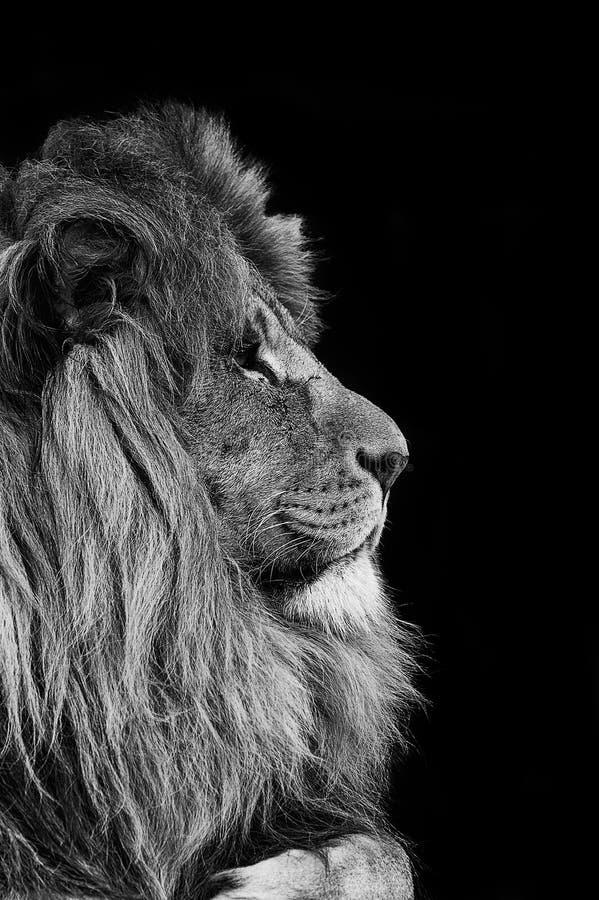 Portret van Leeuw in zwart-wit stock afbeelding