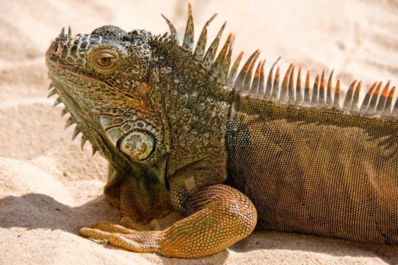 Portret van Leguaan op zand stock afbeelding