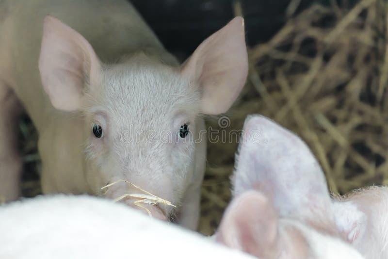 Portret van leuk nieuwsgierig wit roze biggetje die camera onderzoeken royalty-vrije stock afbeeldingen