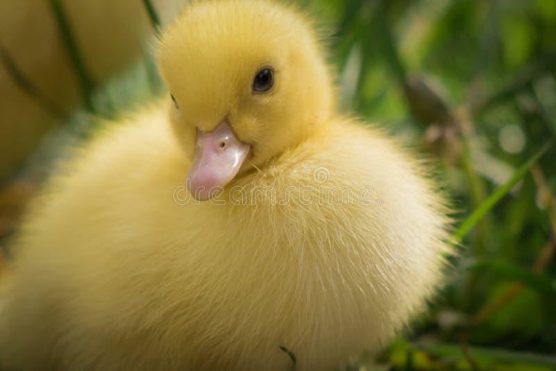 Portret van leuk weinig gele dichte omhooggaand van het baby pluizige muscovy eendje royalty-vrije stock afbeelding