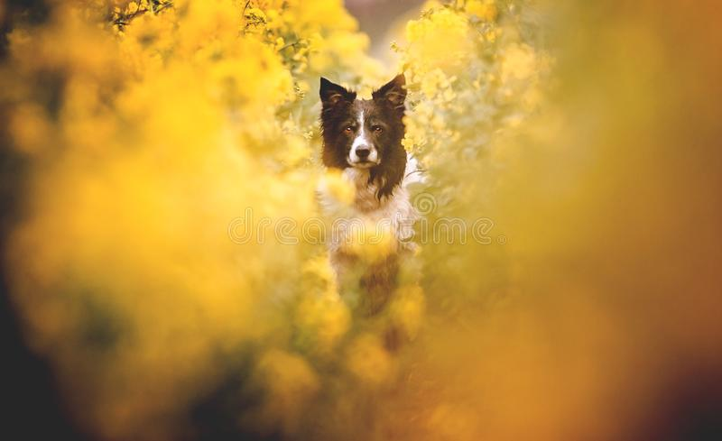 Portret van leuk zwart-wit border collie Hondzitting op geel bloeiend verkrachtingsgebied Zeer lage diepte van Gebied, wi van de  stock foto