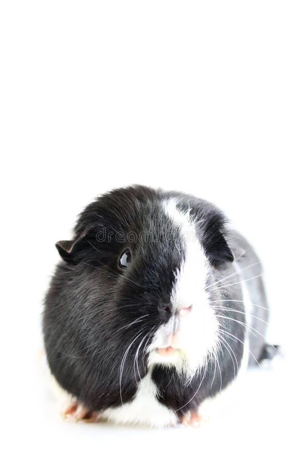 Portret van Leuk Zwart-wit Proefkonijn royalty-vrije stock afbeeldingen