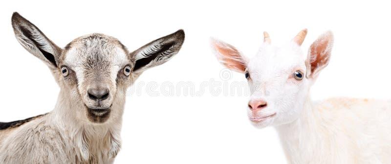 Portret van leuke geit twee royalty-vrije stock foto's