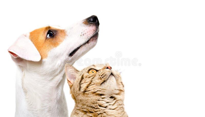 Portret van leuke hond Jack Russell Terrier en katten Schots Recht, zijaanzicht stock foto