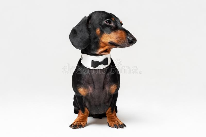 Portret van leuke hond, tekkel, zwarte en tan, die vlinderdas dragen, die op grijze achtergrond wordt geïsoleerd royalty-vrije stock afbeelding