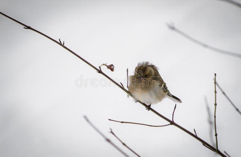 Portret van leuke hongerige die mus niet aan koude temperaturen en de sneeuwwinter wordt gebruikt, die naar voedsel, op boomtak z stock afbeelding