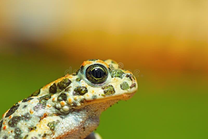 Portret van leuke jonge groene pad stock foto's