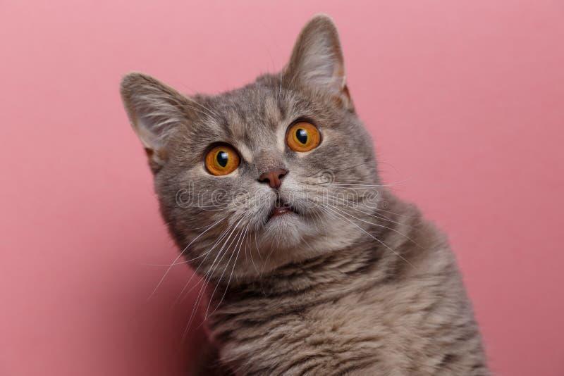 Portret van leuke katten Schotse recht royalty-vrije stock fotografie