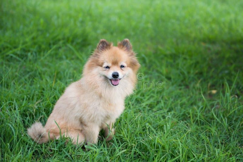 Portret van leuke Pomeranian-hondglimlach op gebied stock afbeelding