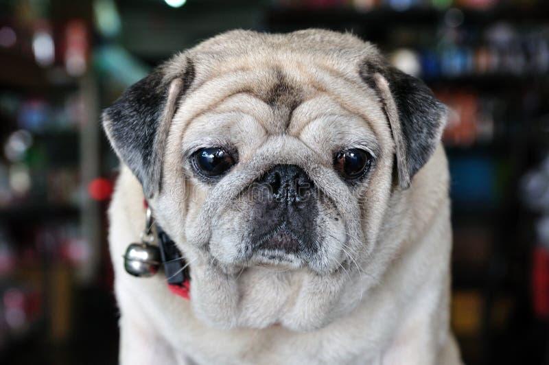 Portret van leuke pug puppyhond stock foto