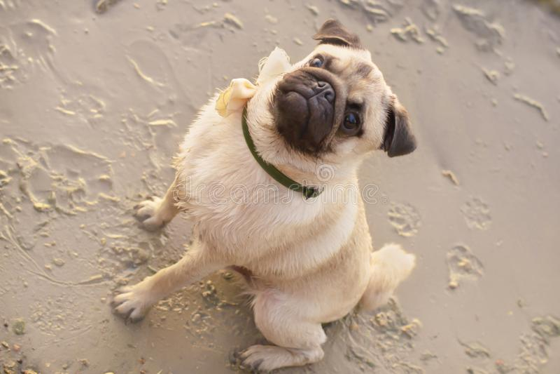 Portret van leuke pug zitting op strand royalty-vrije stock foto's