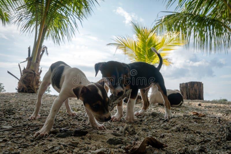 portret van leuke rasechte chihuahuas op het strand royalty-vrije stock foto's