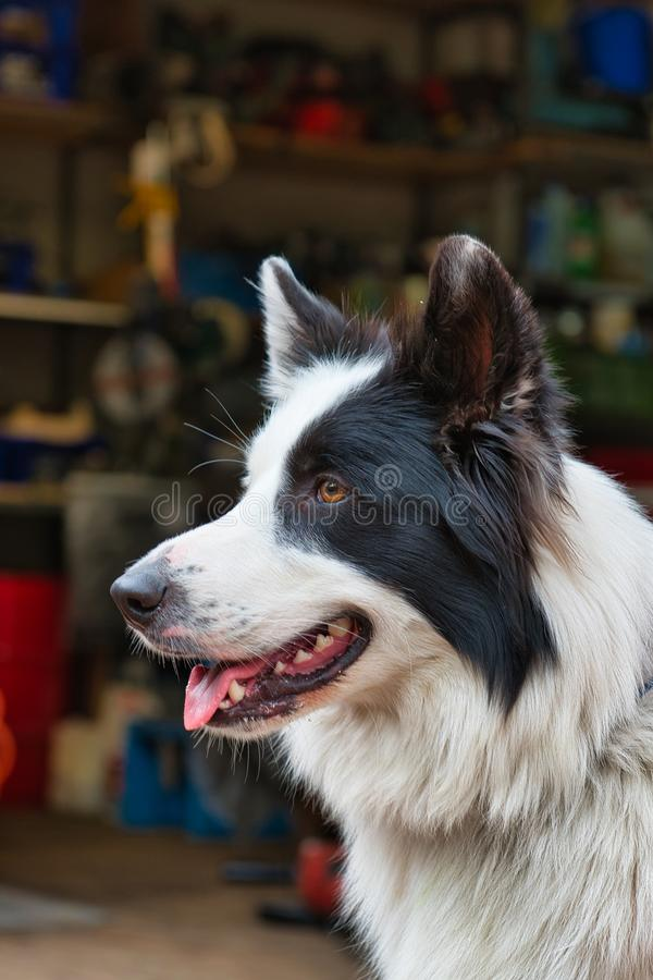 Portret van leuke witte zwarte hond royalty-vrije stock afbeeldingen