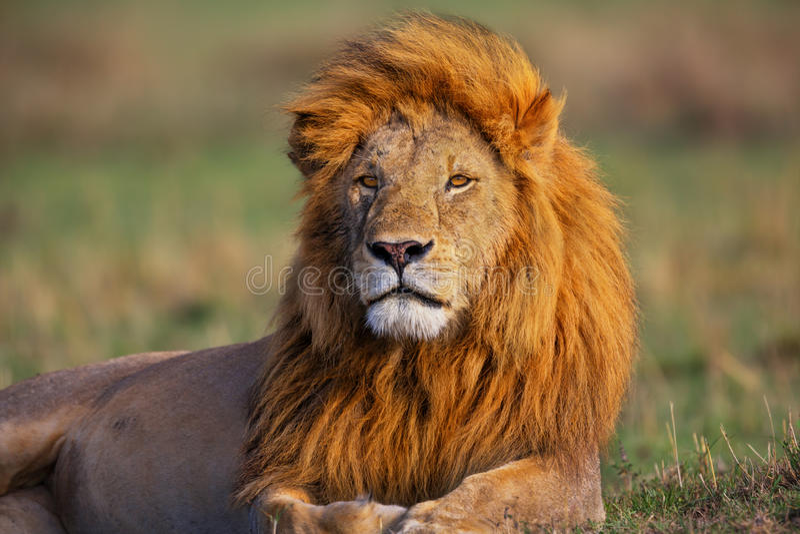 Portret van Lion Romeo II in Masai Mara royalty-vrije stock afbeeldingen