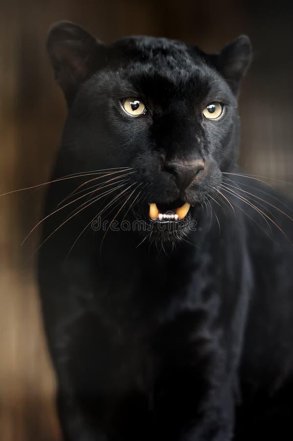 Portret van Luipaard royalty-vrije stock afbeeldingen