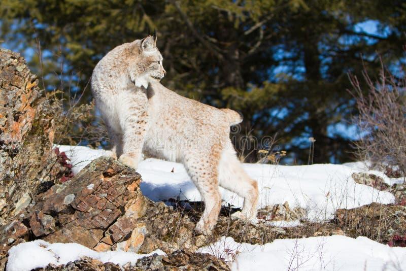 Portret van lynx royalty-vrije stock foto