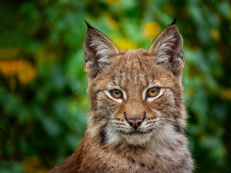Portret van lynx in de zomer stock fotografie