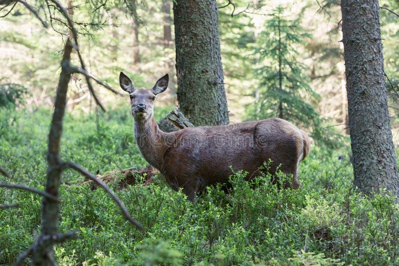 Portret van majestueuze krachtige volwassen herten in een bos in Sumava stock foto