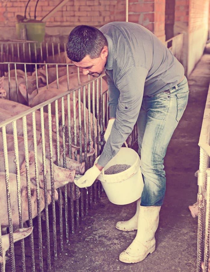 Portret van mannelijke landbouwer die binnenlandse varkens voeden royalty-vrije stock afbeeldingen