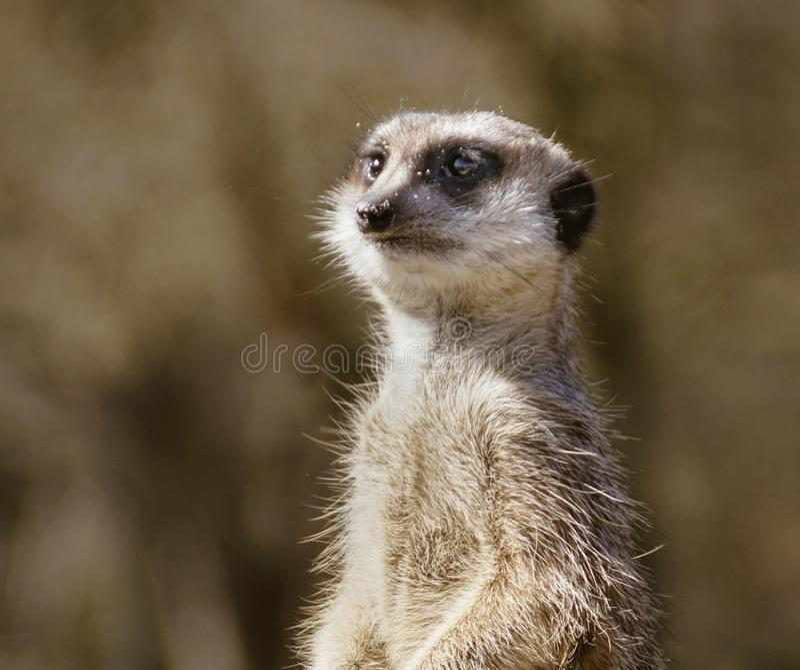 Portret van meerkat stock afbeelding