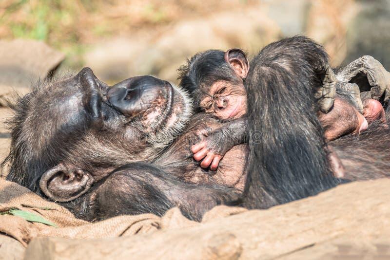 Portret van moederchimpansee met haar grappige kleine baby royalty-vrije stock afbeelding