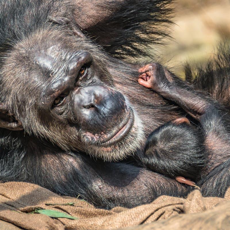 Portret van moederchimpansee met haar grappige kleine baby stock afbeeldingen